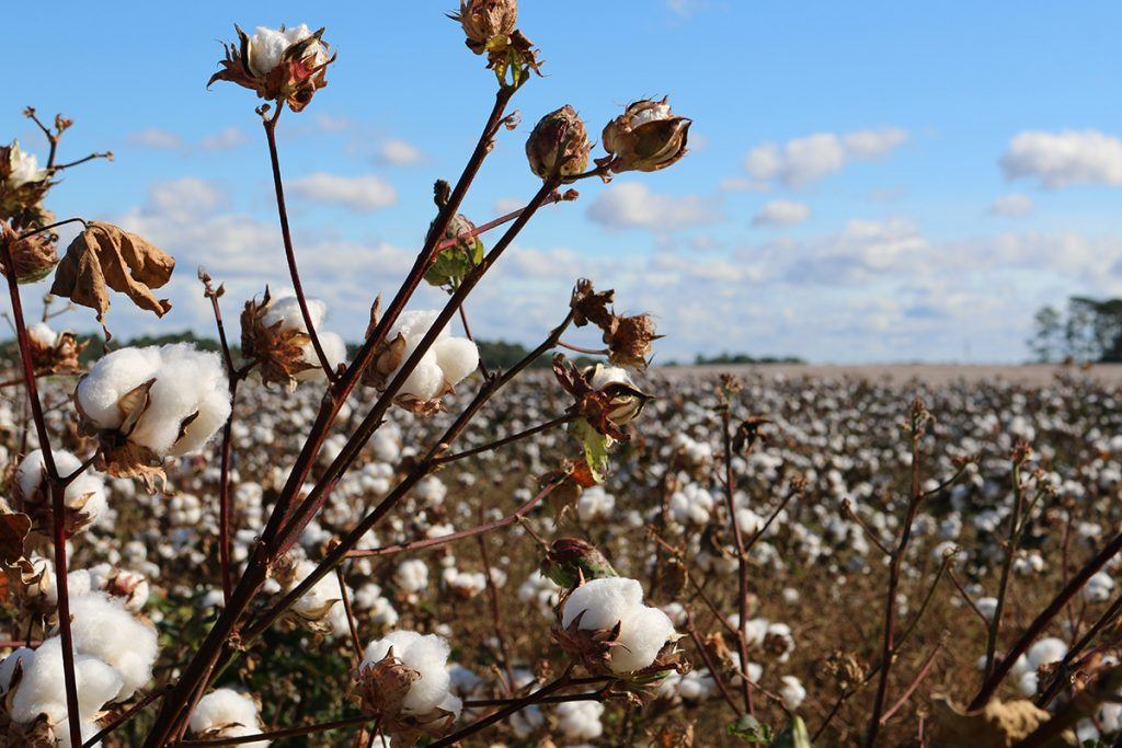 Hemp vs. Cotton: It's Not Really a Contest